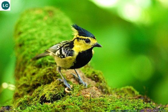 https://www.facebook.com/WonderBirds-171150349611448/ Bạc má má vàng; Họ Bạc má-Paridae; Nam và Đông Nam Á || Yellow-cheeked tit (Parus spilonotus) IUCN Red List of Threatened Species 3.1 : Least Concern (LC)(Loài ít quan tâm)