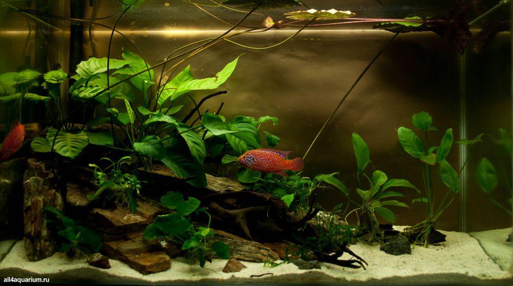 Aquarium volume 130 l aquarium age 5 months animals hemichromis lifalili blue plants anubias - Petit aquarium design ...