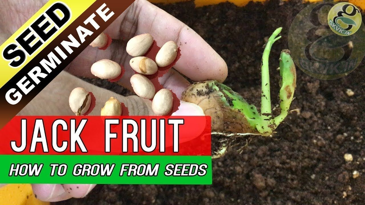 How to grow jackfruit tree from seed jack fruit seed
