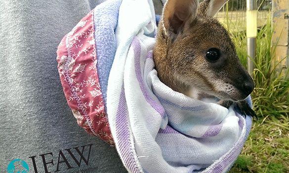 Call To Help Kangaroo Joeys Hurt In Bushfires Bounce Back By
