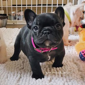 French Bulldog Puppy Bulldog Puppies French Bulldog Puppies Bulldog