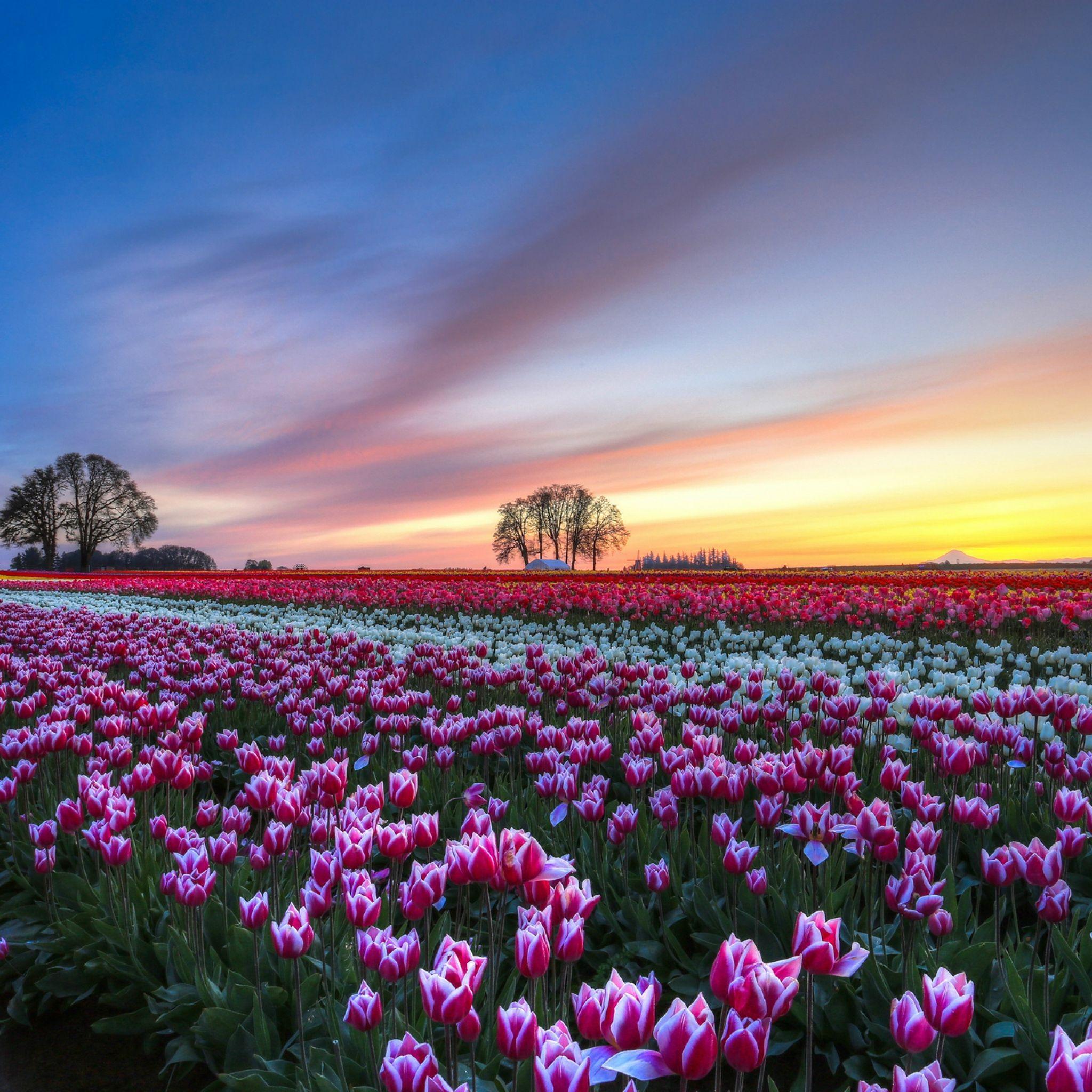 2048x2048 Papel de Parede de campo, tulipas, colorido, flores, árvores, noite, pôr do sol, céu, nuvens