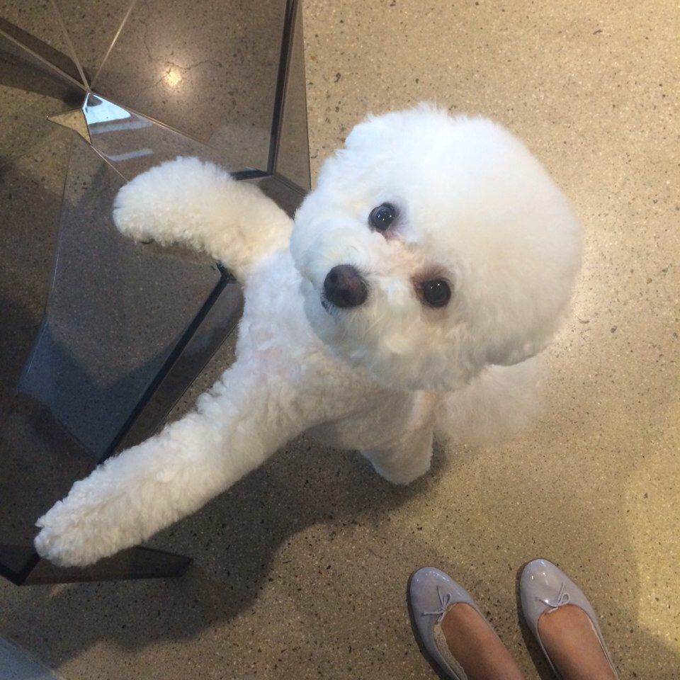 bichon frise | bichon | pinterest | bichon frise, bichons and dog