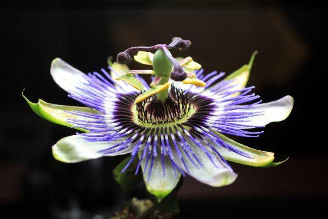 pasionaria-flor-de-la-pasion-21.jpg (650×434)