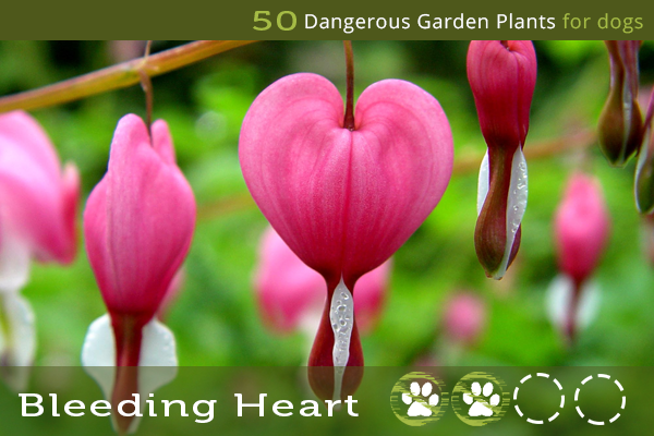 Bleeding Heart Dangerous Garden Plants For Dogs In 2020 Garden Plants Plants Bleeding Heart