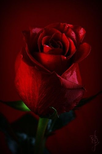 A Red Rosebud Also Has Its Own Meaning Youthful Love Innocent And Fresh Is What The Bud Stands For The Attractiv Red Roses Beautiful Flowers Beautiful Roses