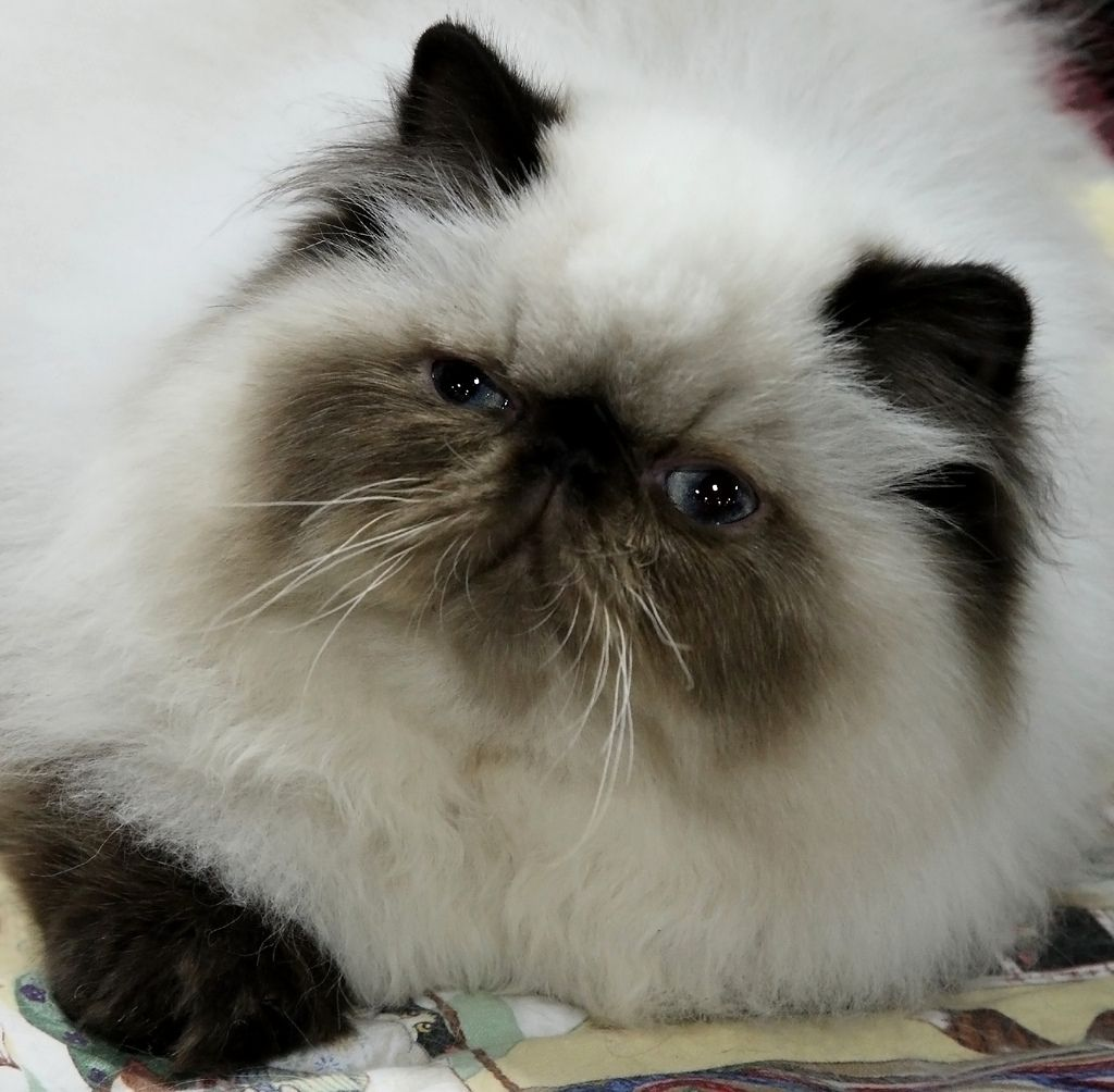 persian kittens for sale in indiana Cute Cats Pictures