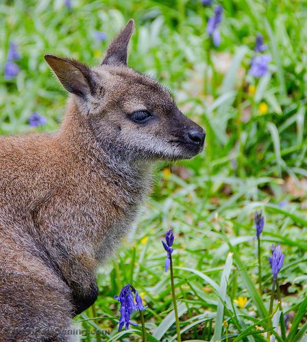 Wallaby In Bluebells @ Tamar Otter & Wildlife Centre