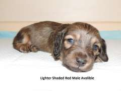 Pin By Deb Rowe On Doxies Dachshund Puppies Puppies For Sale