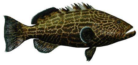 Black Grouper Fish Identification Fish Grouper Fish Fish Quilt
