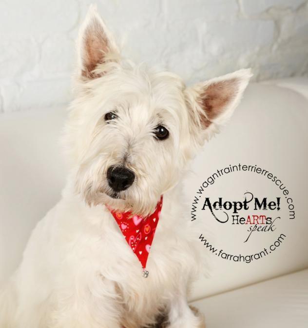 Adopt Faith Sanctuary Sweetheart On West Highland White Terrier Kitten Adoption Westie Dogs