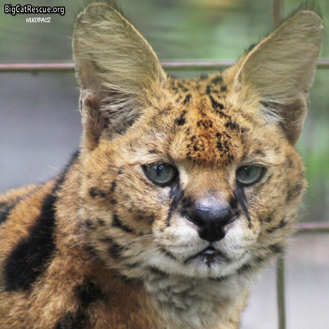 Handsome Zimba Serval watching for the keeper tour