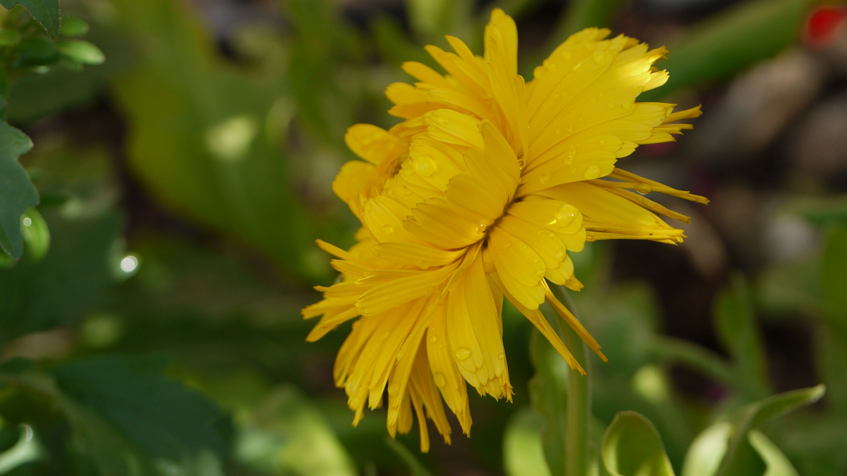 Yellow Aster Color Favorite Flowers Pinterest Aster
