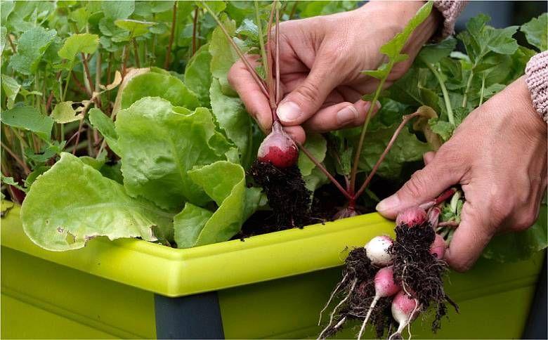 mon premier potager les salades et les radis constituent les l gumes les plus faciles r ussir. Black Bedroom Furniture Sets. Home Design Ideas