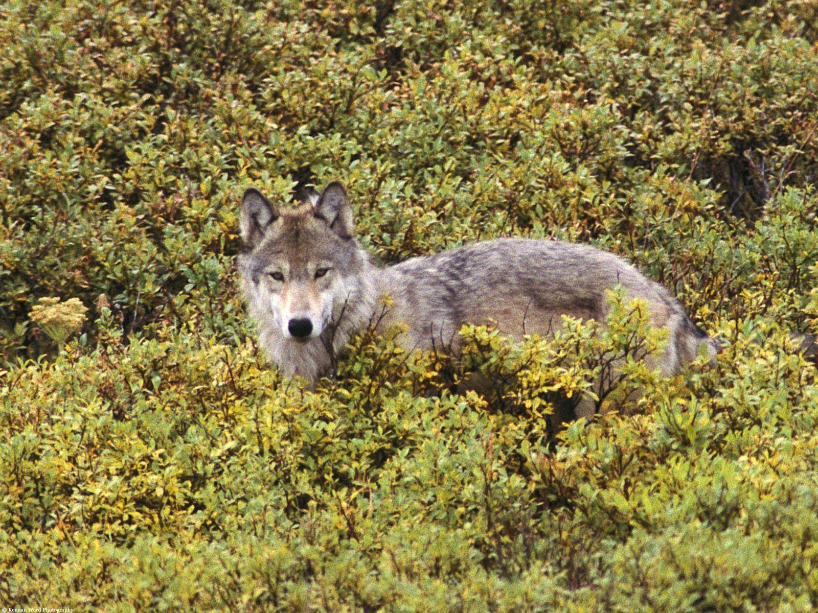 Tundra of Alaska Gray Wolf Wolf photos, Grey wolf, Wolf