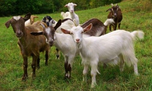 Ever wonder where cashmere comes from? One of the oldest domesticated species — goats — are raised for their hair, milk, meat, and skin.   These curious animals graze on plants, but they will nibble on almost anything — and digest it all with a 4-chambered stomach. Find out more about the various species!