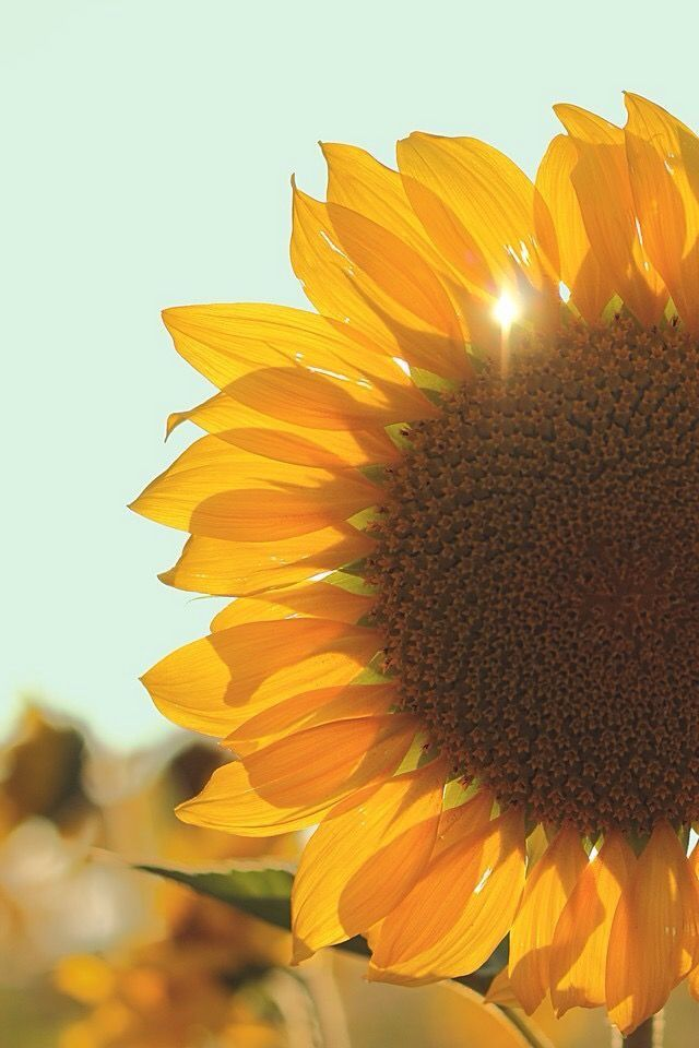 Pin by Emily on flowers Sunflower wallpaper