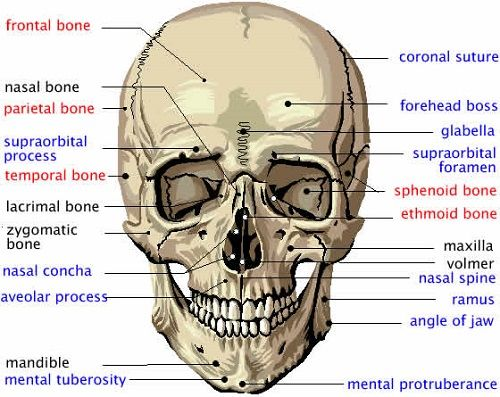 Human Skull Bones Diagram Labeled 2000 Ford F150 Xlt Radio Wiring Facials Anatomy
