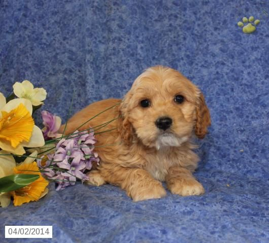 Cockapoo Puppy for Sale in Pennsylvania Cockapoo puppies