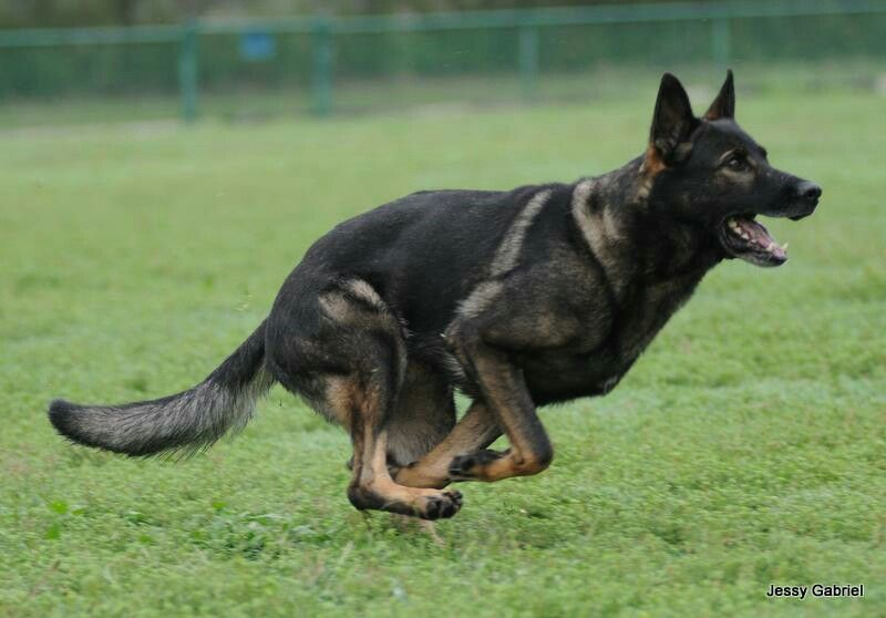 Gorgeous dark sable german shepherd I love this color so much!!!!!!