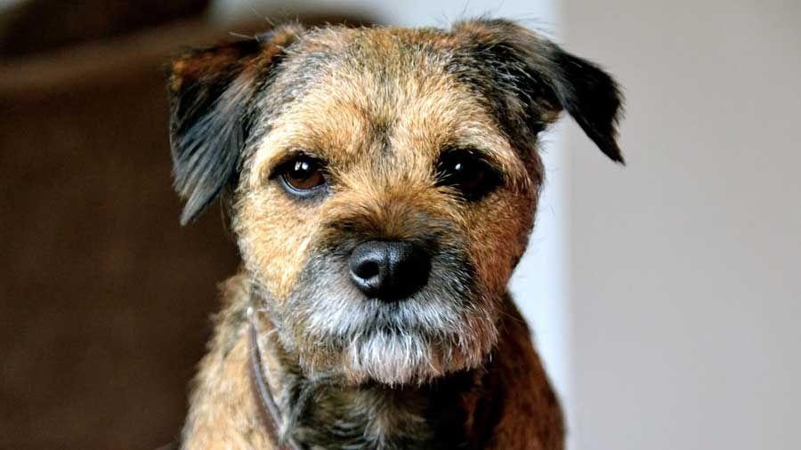Border Terrier Information Characteristics Facts Names Border Terrier Border Terrier Puppy Terrier