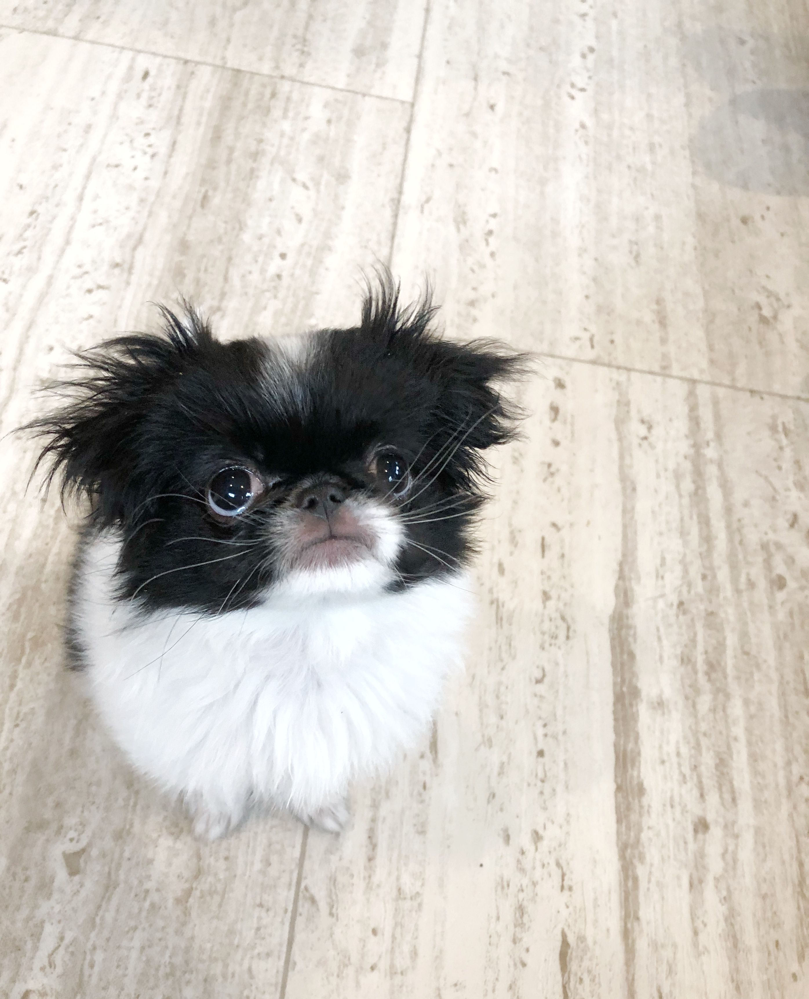 Those Chin Eyes Japanese Chin Dog Baby Puppies Cute Puppies