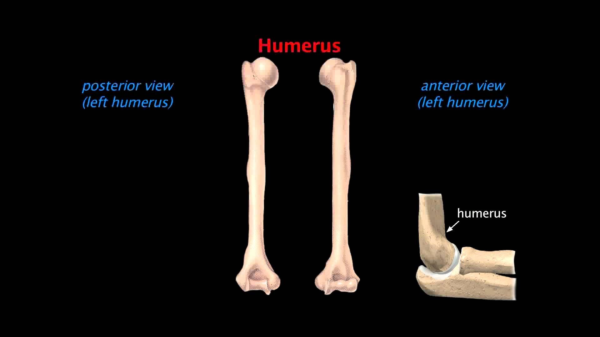 Upper Limb Skeleton