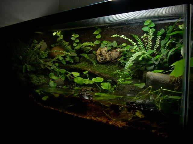 Whites tree frog tank aquariums pinterest tree frogs for Fish tank frogs