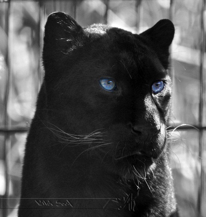 Black And Blue By Wild Soul On Deviantart Black Panther Cat Black Jaguar Black Panther