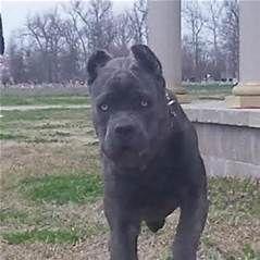 Cane Corso For Sale Missouri Wow Com Image Results Cane Corso Cane Corso Puppies Cane Corso Mastiff