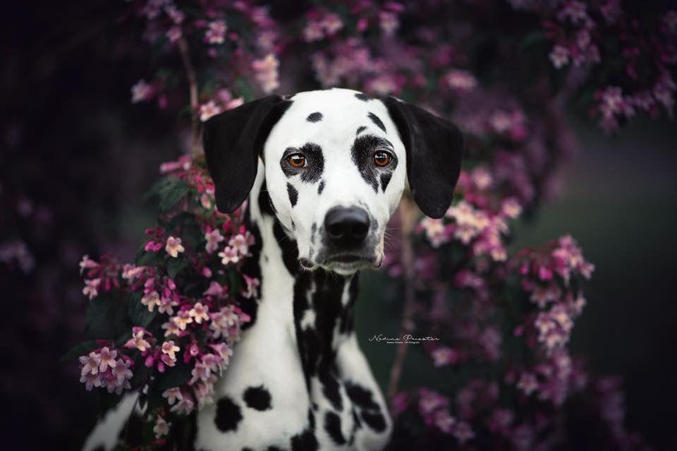 Dalmatiner Dalmatiner Hunde Hundebilder Tierfotograf