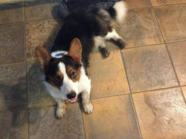 Halo Corgi, Bullitt, can do no wrong! God gave him his own halo to wear, see it above his head! He is showing it off now as his furmom asks him about his very dirty paws!  :)