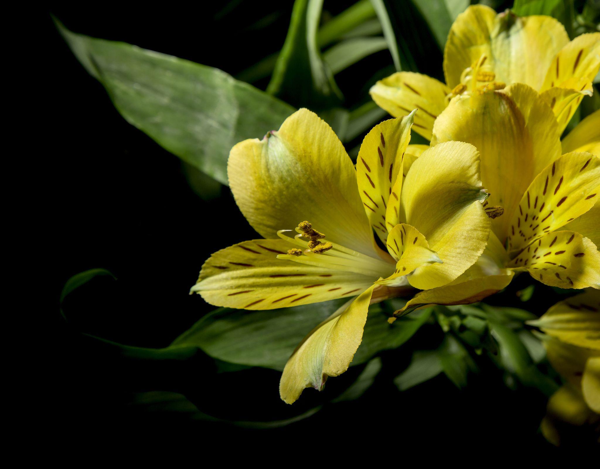 Yellow Alstroemeria Alstroemeria Peruvian Lilies Planting Flowers