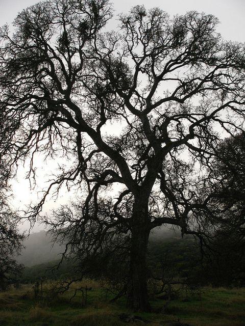@mzcaroljean - my tree lovin' sista - check this out! Oak Tree photo by Meg Solaegu at Wilbur Hot Springs--The tree Oakes is named for!