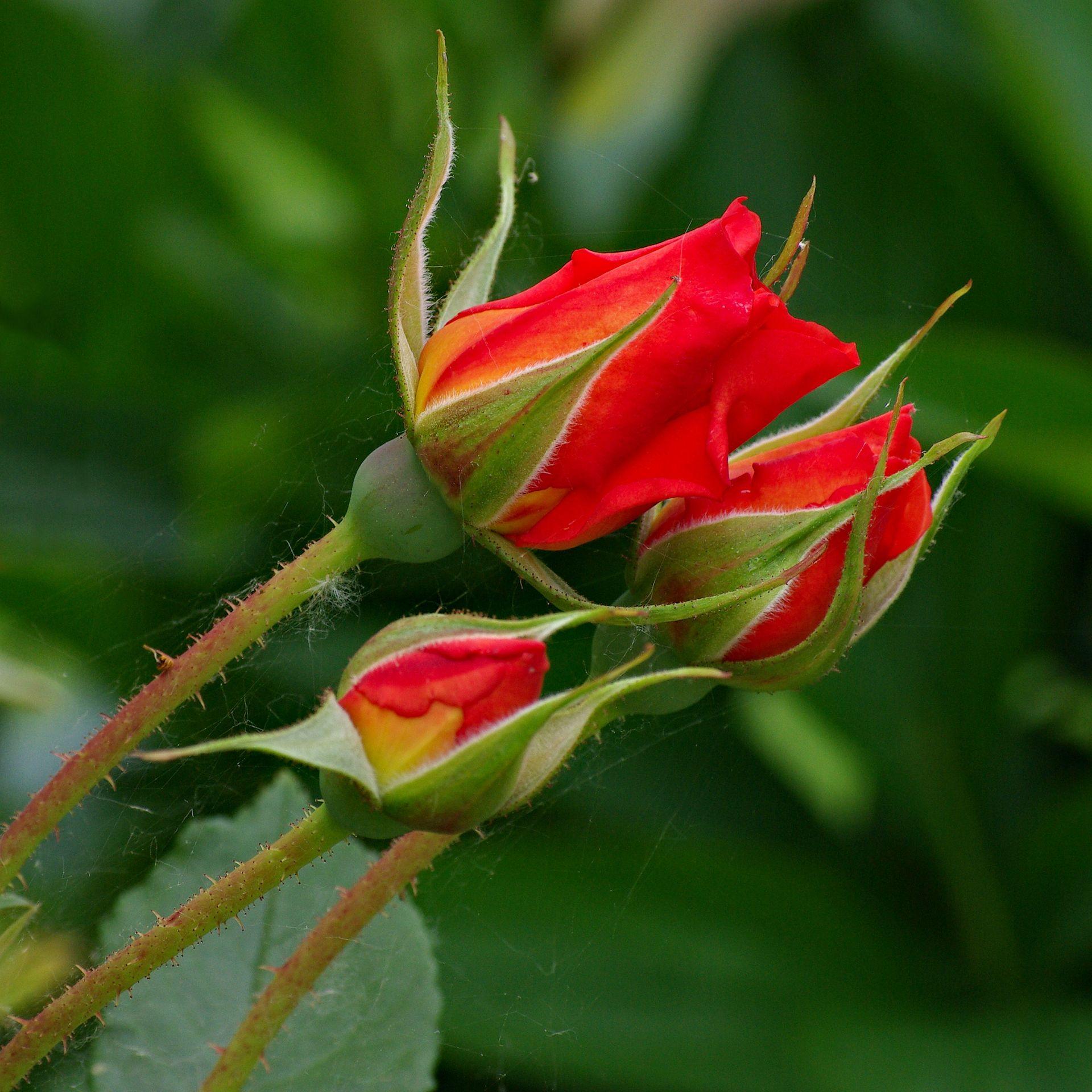 Rosier — Wikipédia Roses rouges, Rosier, Rose