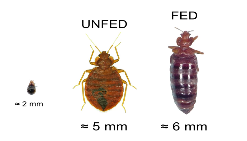Recognizing a Bed Bug Bed bugs, Bed bug facts, Bed bug bites