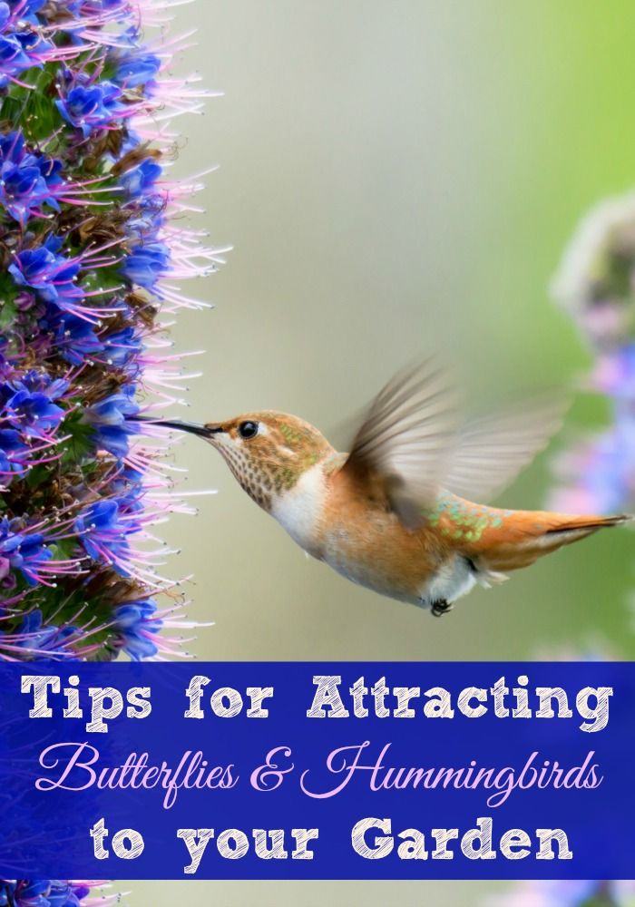 Tips For Attracting Hummingbirds And Butterflies Operation 40k How To Attract Hummingbirds Hummingbird Plants Attract Butterflies