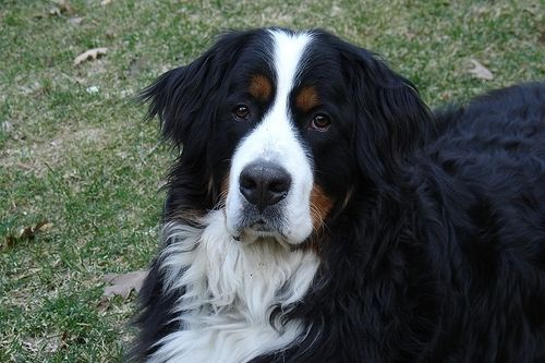 A Photo Of A 9 Months Old Black And White Bernese Mountain Dog Happy Dog Dogs Mountain Dogs Bernese Mountain Dog