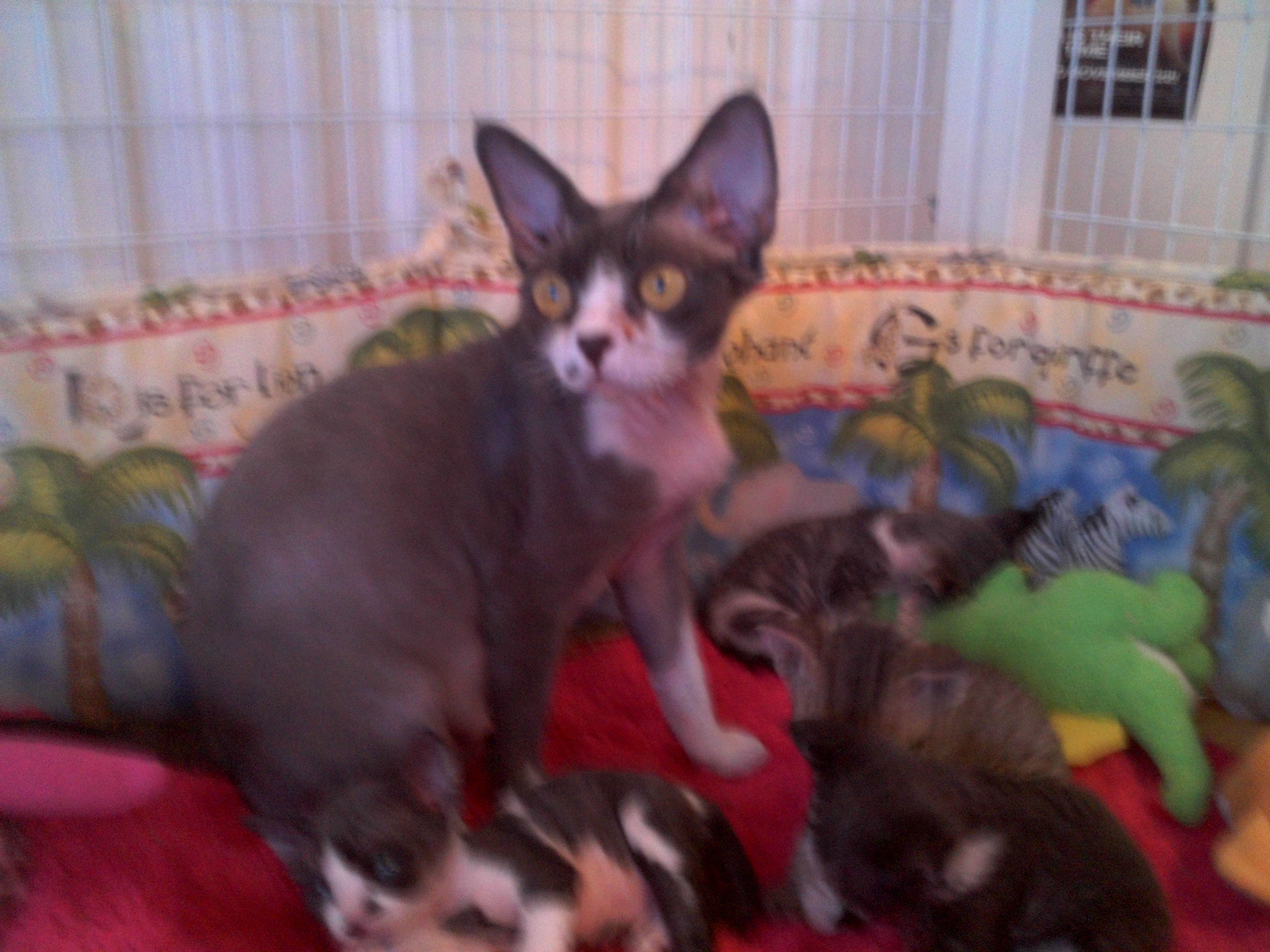 Leah With Her First Litter Of Four Devon Rex Babys Devon Rex Cats Rex Cat Devon Rex