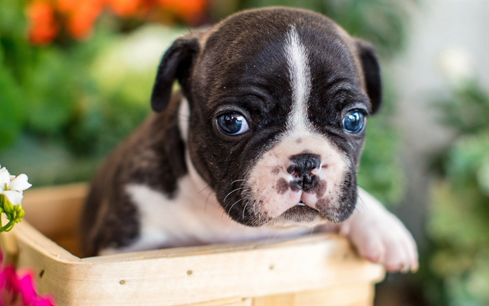 Download Wallpapers French Bulldog Small White Black Puppy Cute