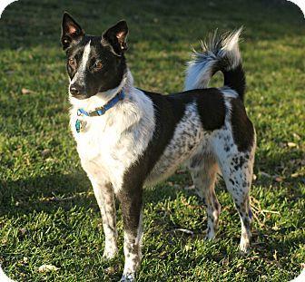 Delano, MN Border Collie/Canaan Dog Mix. Meet Elliot a