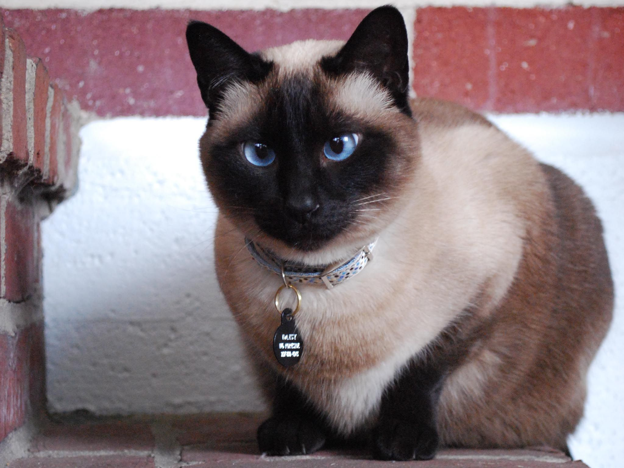 Siamese Kitten Personality Information | Funny cat wallpaper, Seal ...
