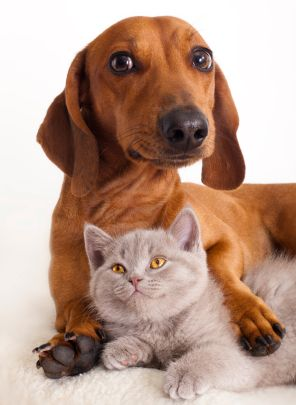 Tips For Traveling With Elderly Pets Dachshund Dog Dachshund