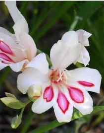 Glaieul Gladiolus