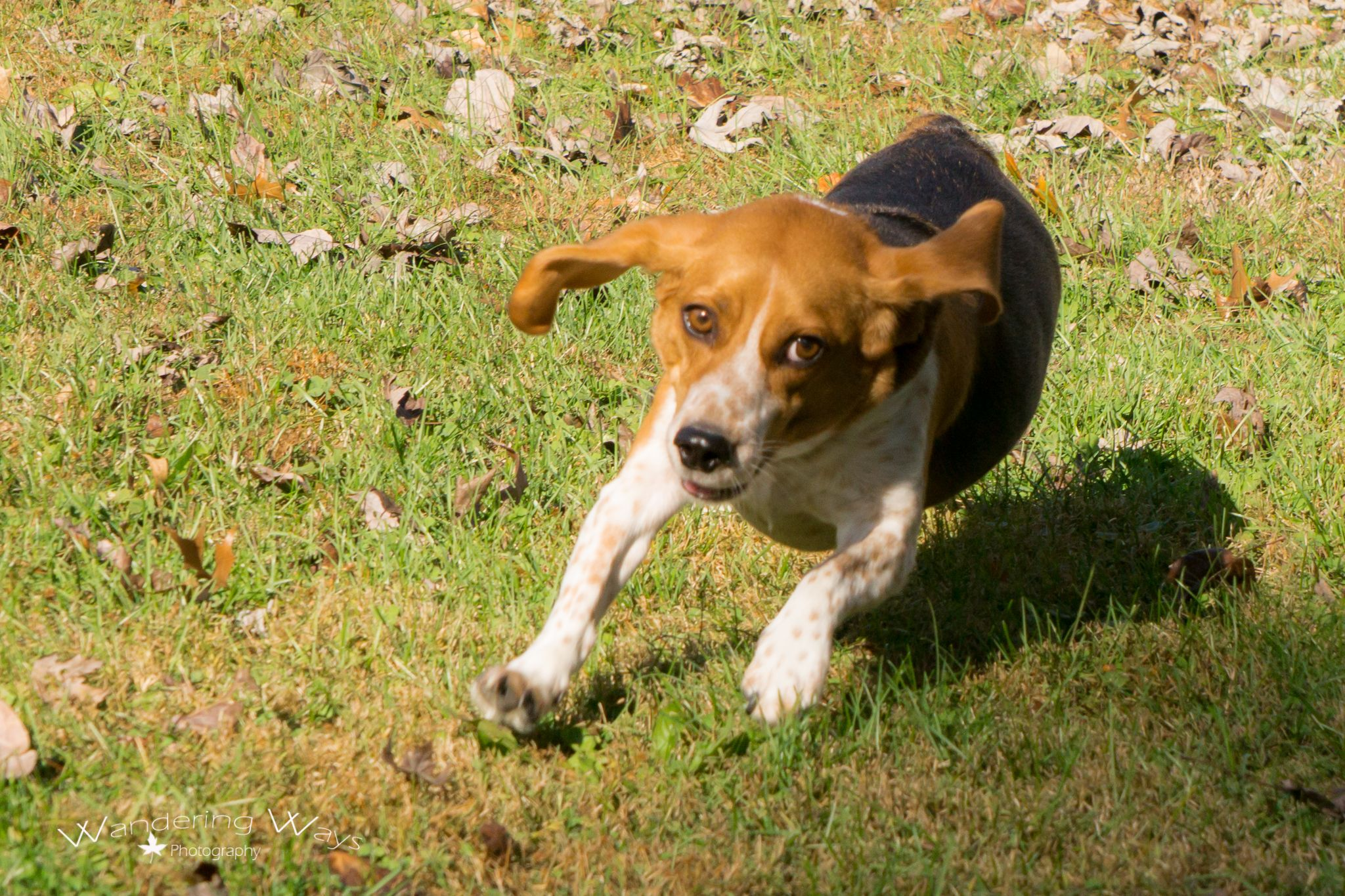 Dexter the beagle getting exercise in Sullivan Indiana captured by Wandering Ways Photography- Amy 2016