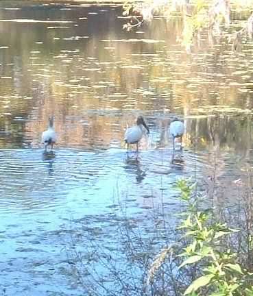Not a very good pic, but these were some storks that came to the pond in Gainesville. copyright Deborah Aldridge 2012 all rights reserved