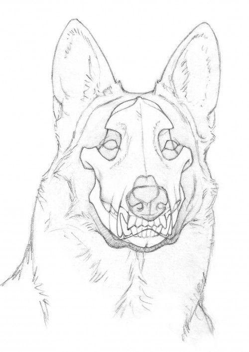 german shepherd skull diagram sketch