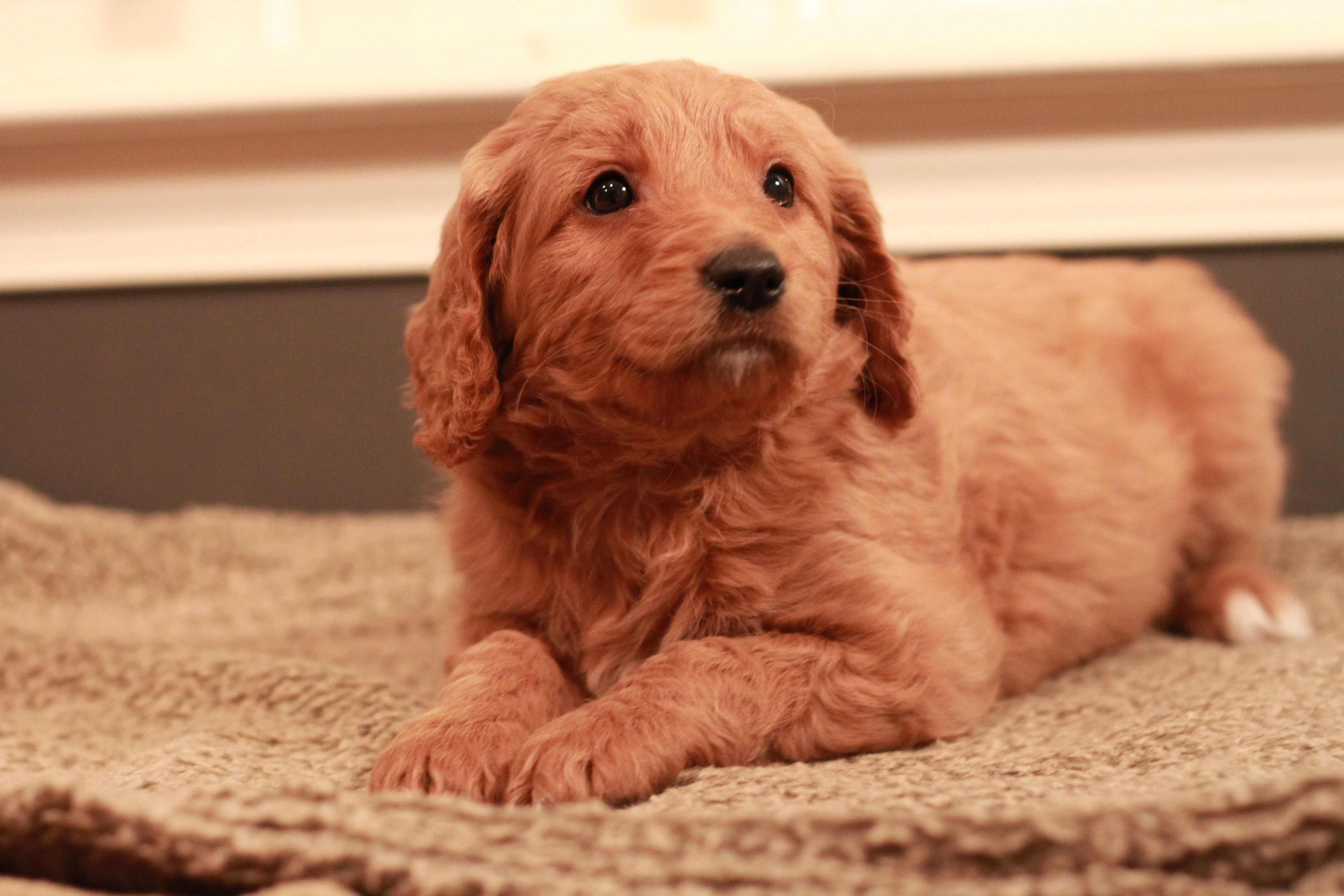 Blaze red goldendoodle from 2013