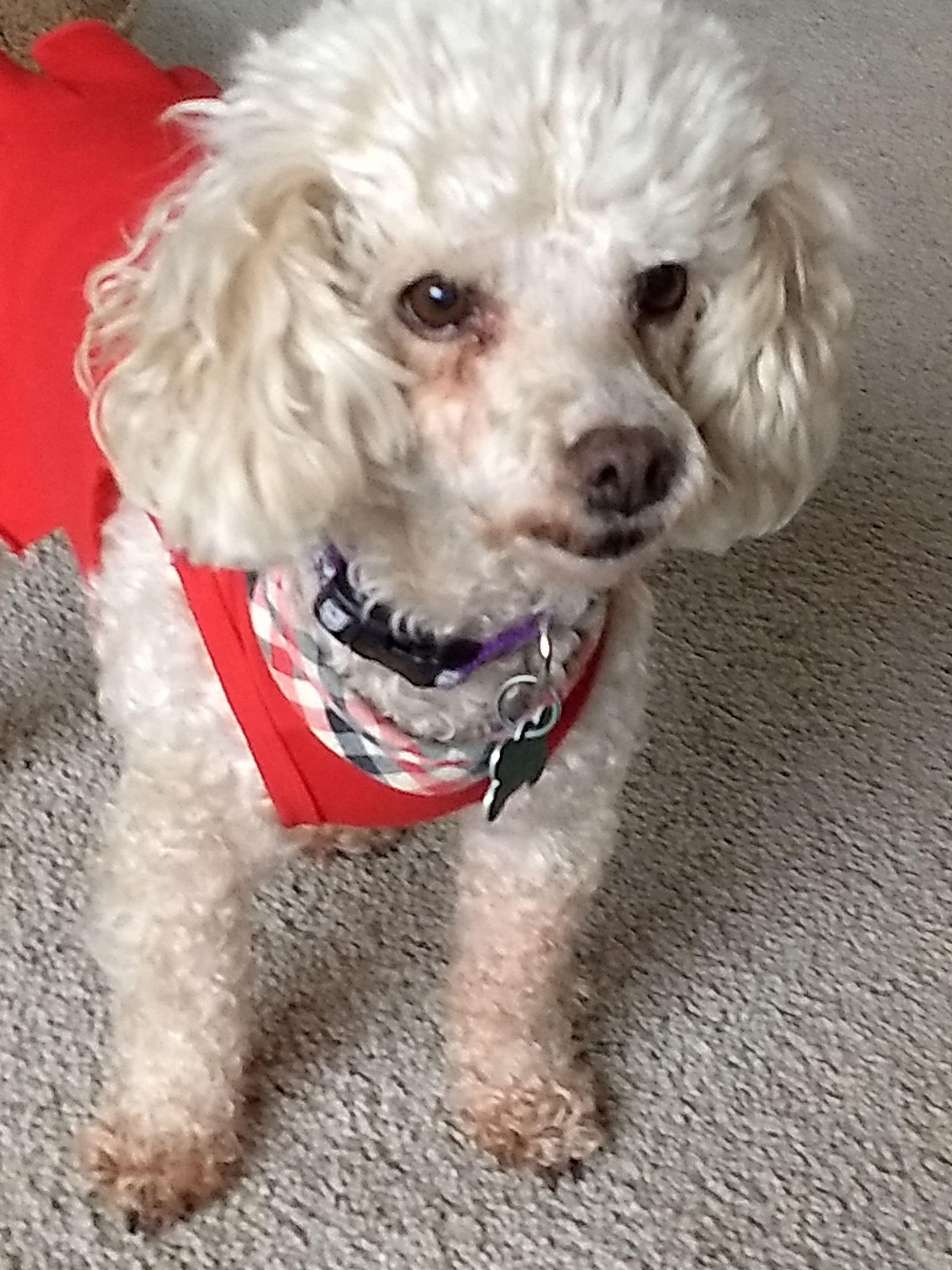 Poodle (Miniature) dog for Adoption in Cedar Rapids, IA
