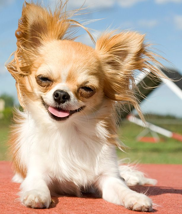 Different Types Of Chihuahuas Dog Breeds Chihuahua Puppies